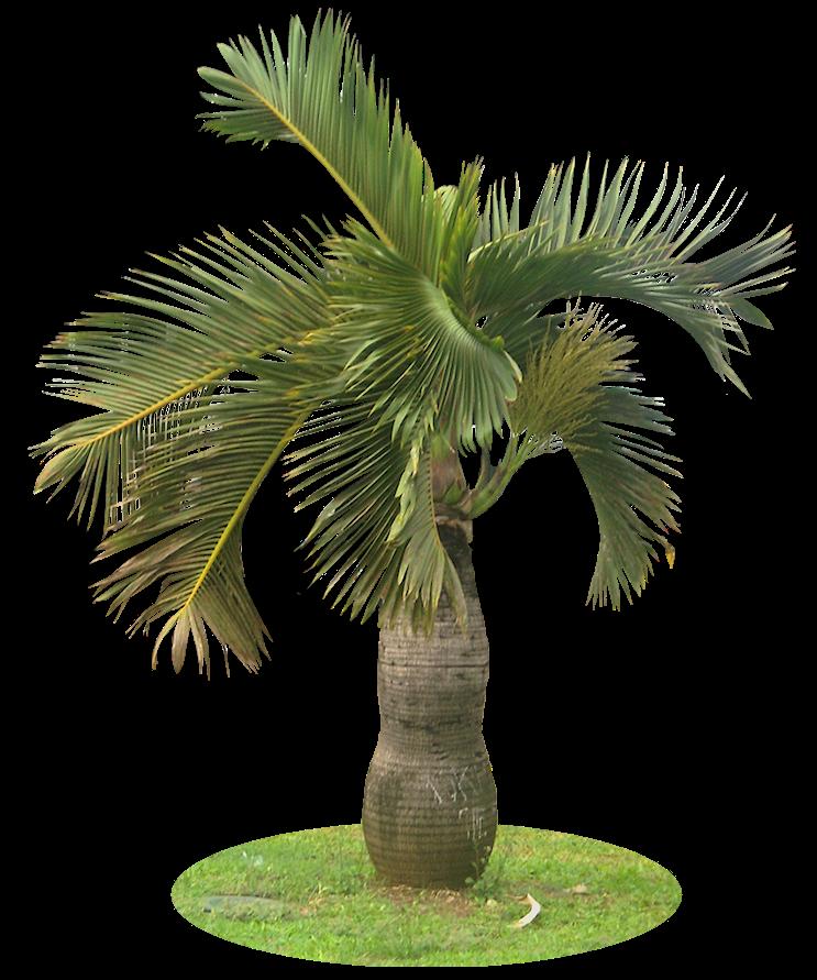 palm plants bing images. Black Bedroom Furniture Sets. Home Design Ideas