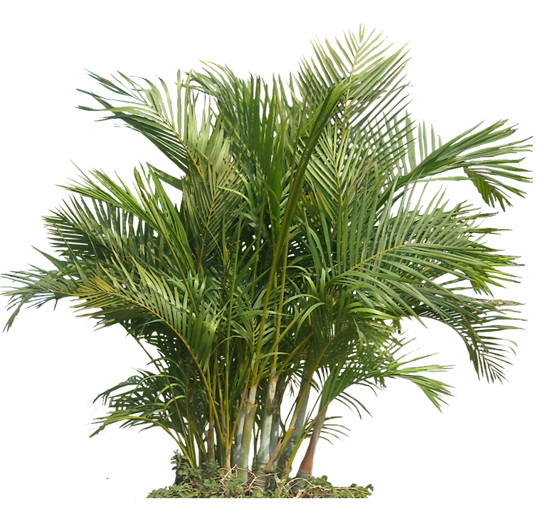 Tropical Plant Pictures: Chrysalidocarpus lutescens  Areca Palm