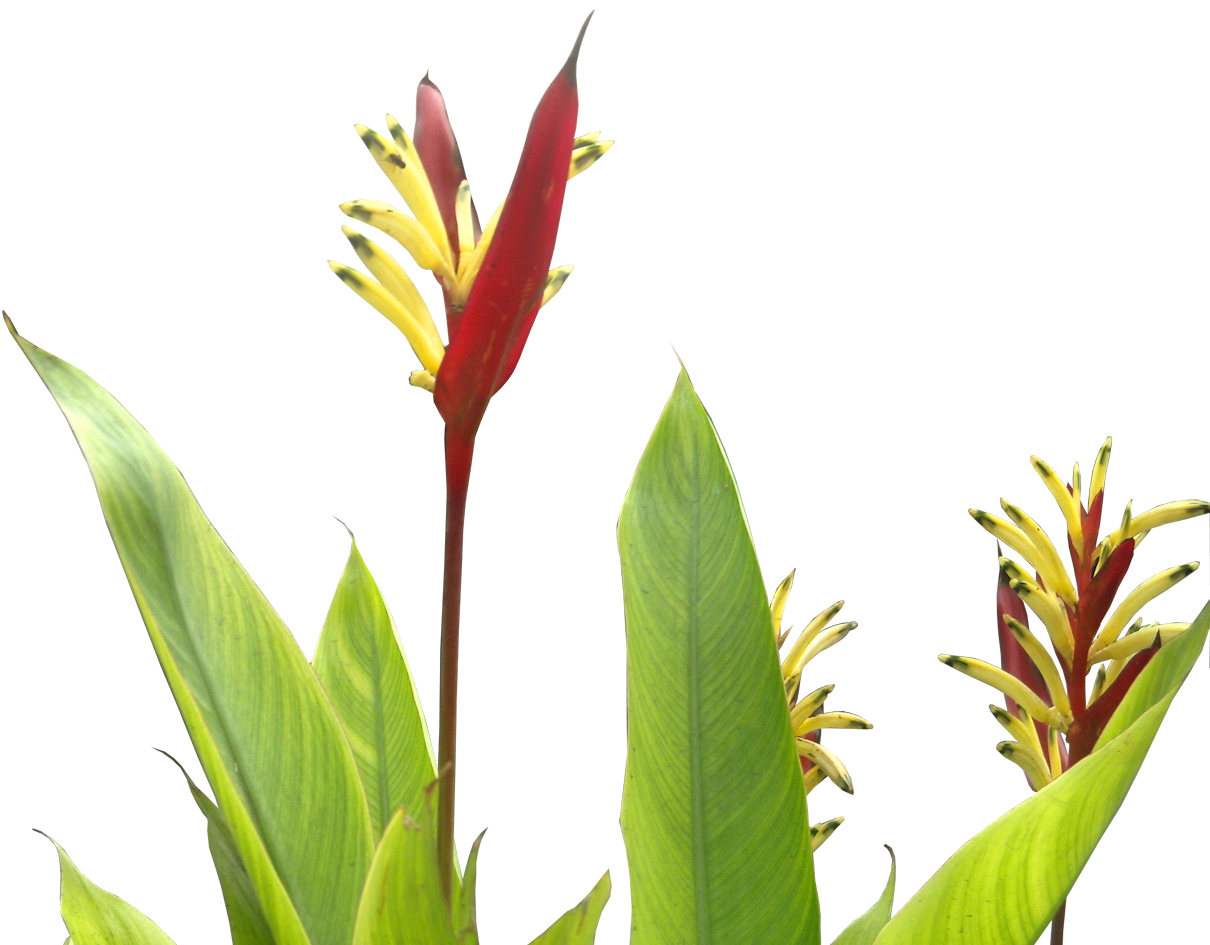 Tropical Plant Pictures Heliconia