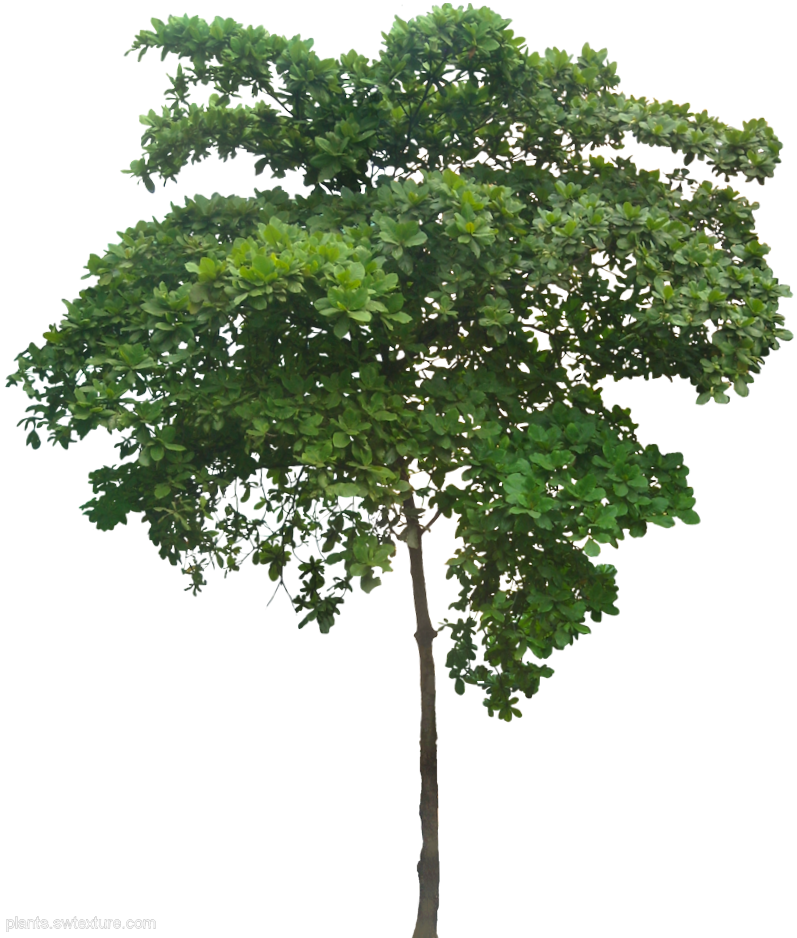 talisay leaves as dye Botany langka is a smooth tree reaching a height of 8 to 15 meters leaves are alternate, leathery, elliptic-oblong to obovate, entire or sometimes 3-lobed, 7 to 15 centimeters long, the.