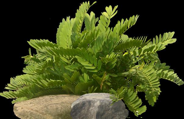 Tropical plant pictures zamia furturacea carborad palm for Planta ornamental zamia