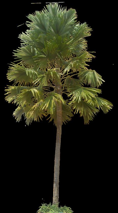 Tropical Plant Pictures: Livistona rotundifolia (Footstool ...