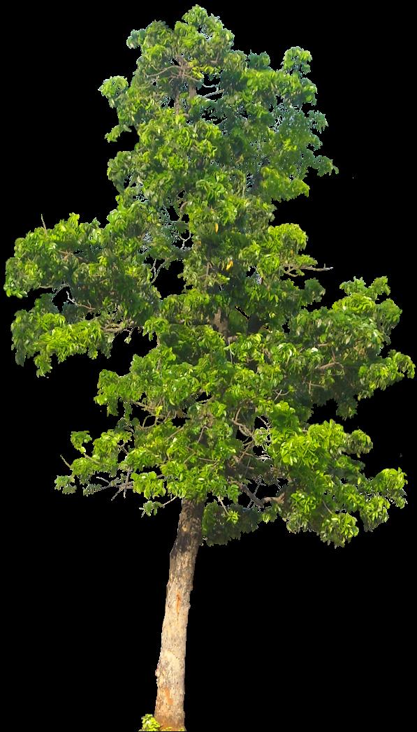 Tropical plant pictures swietenia mahagoni macrophylla for Short trees
