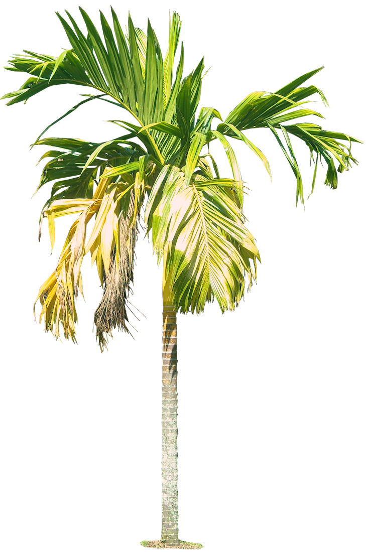 Tropical plant pictures areca catechu for Pictures of areca palm plants