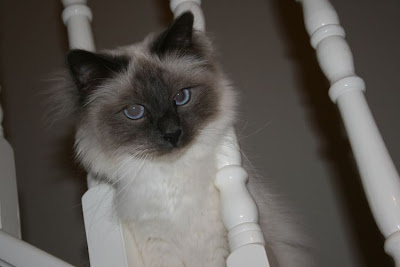 Birman cat head