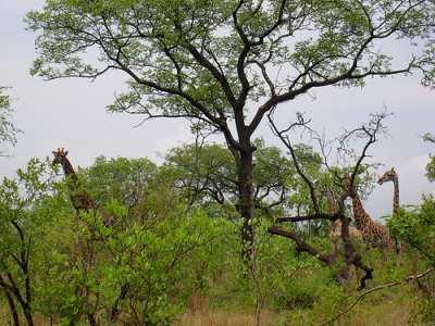 ebony tree