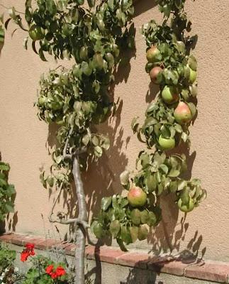 espalier grown pears