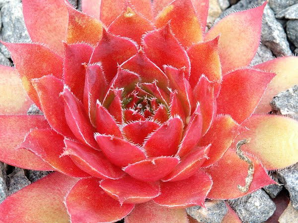 Clin d 39 il plantes grasses - Plante grasse rouge ...