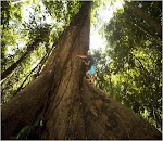 The biggest tree in Borneo (BTRF)