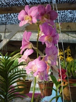 Orkid Dendrobium