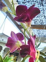 Orkid Dendrobium