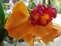 Cattleya Oren