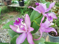 Cattleya Purple