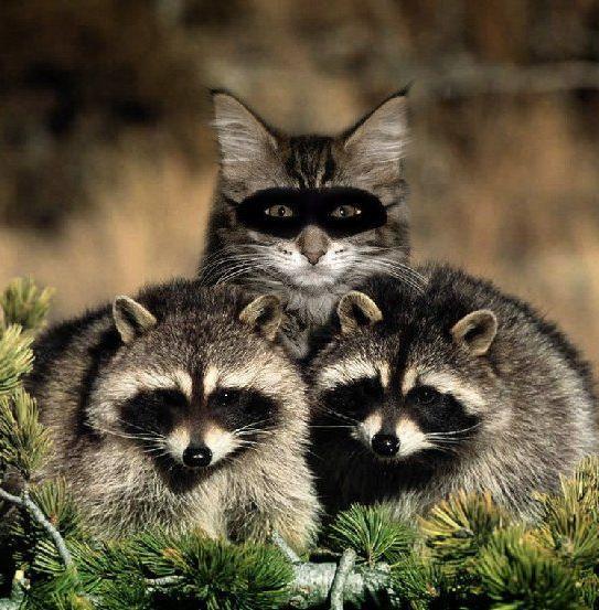http://2.bp.blogspot.com/_VIv8VojYPwo/TDHjuKKe0qI/AAAAAAAAAgE/twTBMu_x--o/s1600/Raccoon+Cat.jpg
