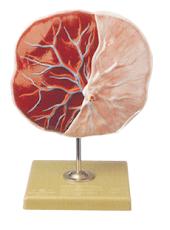 Human Placenta Model