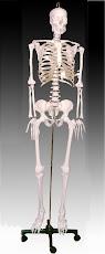 Life Size Skeleton
