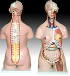 Torso - Male & Female Interchangeable