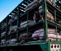 Transporte de cerdos para consumo humano.