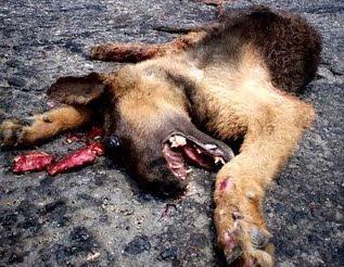 Otros perros abandonados acaban deambulando por las carreteras y provocando accidentes que normalmente acaban en muerte para ellos y en ocasiones provocan la muerte de terceros.