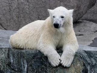 Oso polar en el parque zoológico de Dalarna (Suecia).