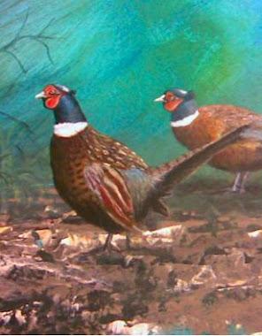 BAŻANT ( Phasianus colhicus )