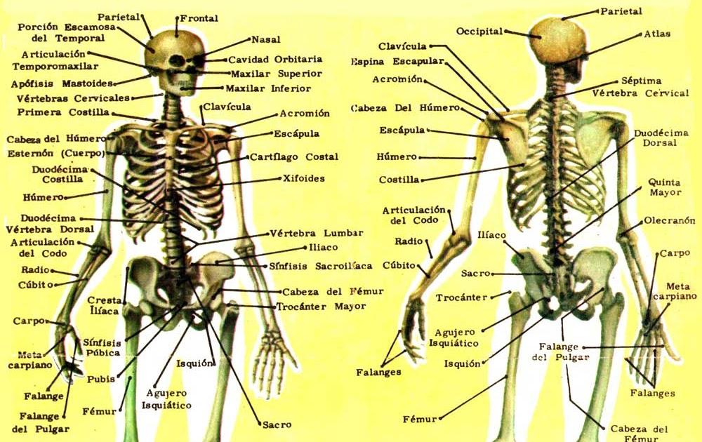 Educación Física en la Red: El esqueleto humano: principales huesos