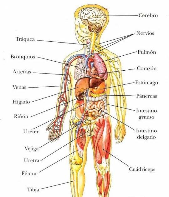 Educaci n f sica en la red interior del cuerpo humano for Interior del cuerpo humano