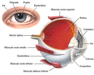 Partes internas y externas del ojo humano