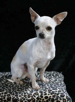 Peluqueria Canina Y Cuidados De La Mascota Chihuahua Cuidados Y