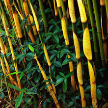 Fargesia robusta-Green Screen Bamboo