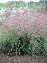 Eragrostis spectabalis-Purple Love Grass