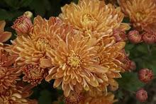 Mum-Chrysanthemum