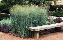 Panicum virgatum-Switch Grass