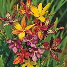 Pardancanda-Candy Lily