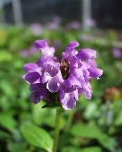 Prunella-Self Heal, Heal All
