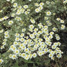 Chamaemelum nobile-Creeping Chamomile