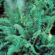 Polystichum acrostichoides-Christmas Fern