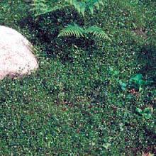 Muehlenbeckia axillaris-Creeping Wire Vine