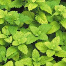 Melissa officinalis-Lemon Balm
