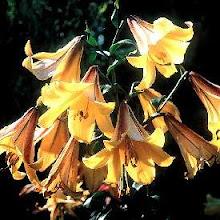 Lilium-Trumpet Lily