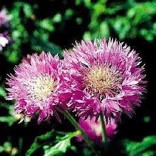 Centaurea hypoleuca-Cornflower