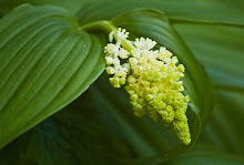 Smilacina racemosa-False Solomon's Seal