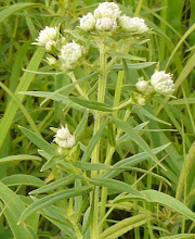 Pycnanthemum virginicum-Virginia Mountain Mint