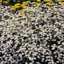 Tanacetum niveum-Snow Daisy