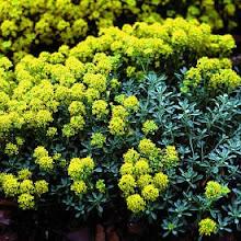 Alyssum serpyllifolium-Alpine Alyssum or Madwort