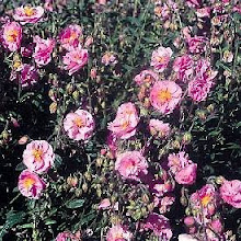 Helianthemum-Rock Rose or Sun Rose