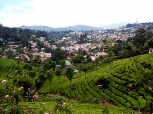 Tea Plantation, Ooty, India