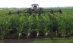 Hybrid Corn Pollination