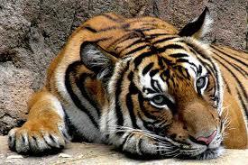 Harimau Malaysia vs Harimau Malaya