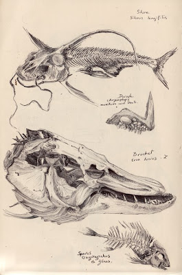 Silure, Silurus longifilis. Daurade royale, Chrysophrys aurata Cuv. ou Sparus aurata L., maxillaire avec dents. Brochet, Erox lucius L. & Diplodus puntazzo, Sparus oxyrhynchus de Gênes